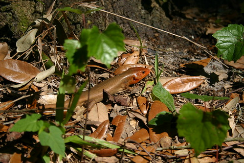 A very large skink-like thing which appeared at my campsite