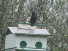 Male purple martin