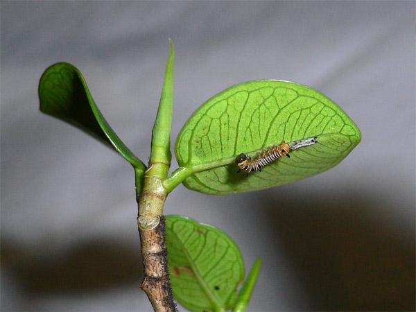 Caterpillar 二齡幼蟲