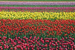 Flower Power (buteijn) Tags: holland colors dutch wow spring tulips nederland tulip lente flowerpower noordholland niederlande tulpen noordwijkerhout tulp kleuren bollenstreek bloemzee