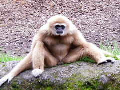 白手長臂猿