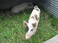 pen pig