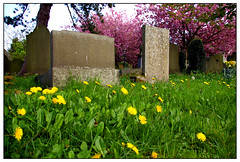 Dandelions and gravestones (Waka Jawaka) Tags: pink grave yellow cherry spring blossom district derbyshire peak april 2007 castleton