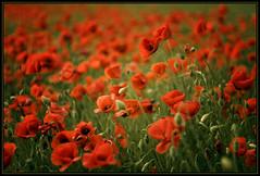 Gallaret (jordics) Tags: flowers flores flower flor poppies flors amapolas naturesfinest papaverrhoeas fieldofflowers blueribbonwinner roselles gallaret colorphotoaward ltytr2 ltytr1 ltytr3 ltytr4 jordics gallgallinapollet quiquiriquics
