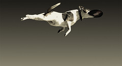 It's a bird, it's a plane... (Mark Lobo .) Tags: dog photography interestingness mark superman lobo winston marklobo anawesomeshot impressedbeauty ultraselected wwwmarklobocomau