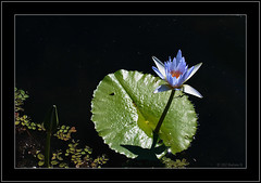 Waterlily (Barbara J H) Tags: blue water waterlily lily canon20d north buderim blueflower 040507 bluewaterlily project365 daybyday2007 northbuderimlake 4thmay2007 barabarajh
