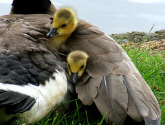 Nice And Cozy! (shesnuckinfuts) Tags: birds geese cozy bravo babies quality goslings canadiangeese naptime birdbrained naturesfinest kentwa featheryfriday ilovebirds specanimal may2007 animalkingdomelite karmapotd shesnuckinfuts karmapotw anawesomeshot washingtonstateoutdoors superbmasterpiece beyondexcellence may52007 24hoursofflickr potwkkc36