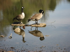 Geese Reflection