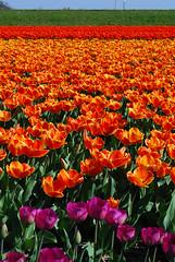 Tulips Field