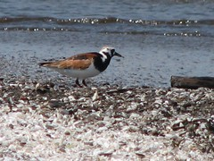 single ruddy turnstone
