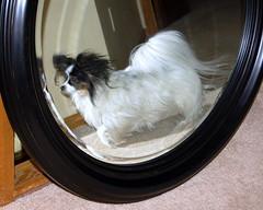 Mirror, mirror (jacksonpe) Tags: dog chien pet cão cane mirror klein small continental hond perro hund papillon spaniel pouco poco petit nain epagneul собака σκυλί
