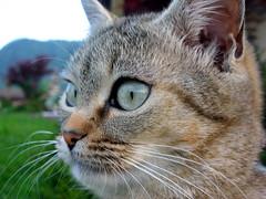 Isotta (Isy) (Cy Isterica) Tags: cat occhi felino gatto pelo friuli furbo micio muso udine isotta friuliveneziagiulia baffi morbido cornino affettuoso forgarianelfriuli