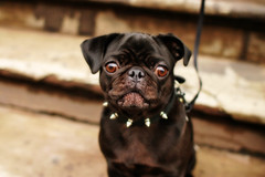 (* raymond) Tags: nyc dog newyork jerseycity pug betty spikes mamba abigfave