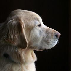 Keeping Watch (kellygifford) Tags: portrait dog goldenretriever golden watch naturallight 100mm cisco naturesfinest abigfave beautyineyeofbeholder