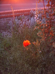 poppy in the evening sun
