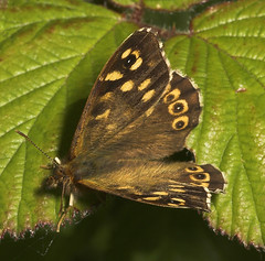 """Speckled Wood Butterfly (Parage aeger(1) • <a style=""""font-size:0.8em;"""" href=""""http://www.flickr.com/photos/57024565@N00/509762237/"""" target=""""_blank"""">View on Flickr</a>"""