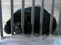 The sad black bear in the pigeon forge bear pit