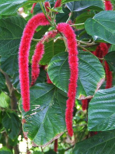 Saipan, A'be's garden - Mother-in-law's tongue (acalypha hispida)