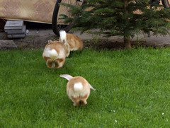 Jump! (Sjaek) Tags: pet cute rabbit bunny green grass animal outside jump jumping furry sweet sony adorable fluffy running pip alpha a100