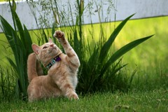 Hands up Duncan (Elkay 724) Tags: pet cats pets sunlight playing cat outside feline tabby kitty gato kitties buff meow creamsicle playful tunafished