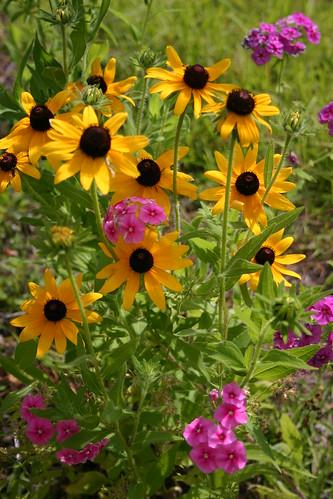 More Black-eyed Susans and woodland phlox