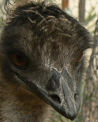 Emu closeup (ianmichaelthomas) Tags: friends birds healesvillesanctuary emu smorgasbord flightlessbirds largebirds animaladdiction goldenmix avisittothezoo wildlifeofaustralia animalcraze worldofanimals wonderfulworldmix healesvillevictoriaaustralia flickrlovers vosplusbellesphotos flickrsbestcreatures