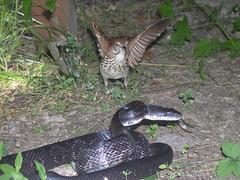 The battle of the snake and bird (stormahawk) Tags: black macro bird fight snake naturesfinest specnature