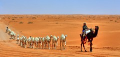 Dahna camels (Alkassim) Tags: nikon d2x d200 peopleschoice blueribbonwinner piratetreasure supershot d80 passionphotography mywinners ultimateshot ibeauty holidaysvancanzeurlaub diamondclassphotographer ahmedalkassim