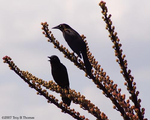 BlackBirdsTreeTop
