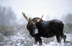 Beauty in the Snow (Liska Rial Eman) Tags: snow nature horns moose velvia yellowstone grandtetons soe jesters naturesfinest supershot exellence animalkingdomelite unature shieldof unaturefav