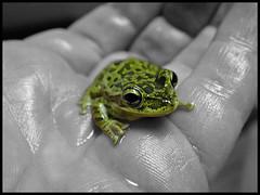Tiny Frog (Scott Kinmartin) Tags: baby amphibian mini frog explore toad tiny winner greenfrog babyfrog supershot 15challengeswinner