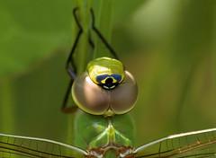Common Green Darner (macro)