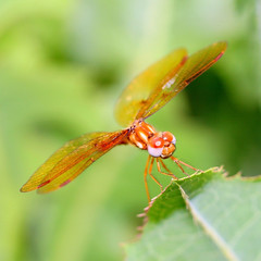 Midas Touch (Little Laddie) Tags: macro nature insect leaf bravo dragonfly balance midastouch naturesfinest flickrelite