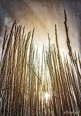 Tall Grass (photo fiddler) Tags: novascotia bedford mall grass sky december 2016