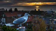 'We watch the sunrise' (Anthony Goodall) Tags: bird sunrise roofs rooftops scarboroughuk nature landscape lighthouse light sun sea seaside seagull seabird