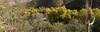 Panorama of Sabino Canyon from the Bluff Trail (Distraction Limited) Tags: sabinocanyon coronadonationalforest santacatalinamountains catalinamountains catalinas nature tucson arizona sabinocanyon20161207 fallcolor autumncolor fall autumn fremontcottonwood alamocottonwood populusfremontii populus cottonwoods cottonwoodtrees trees saguaros carnegieagigantea carnegiea cactus blufftrail panorama gooddingswillow gooddingwillow goodingblackwillow salixgooddingii salixnigravarvallicola salixvallicola salix willows