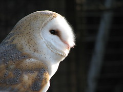 barn owl (physalia) Tags: england holiday birds animals cumbria owls barnowl 2007 worldowltrust muncastercastle
