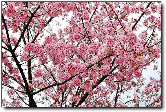 0331櫻花