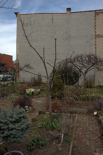 Castor Aralia, Summit Street Community Garden