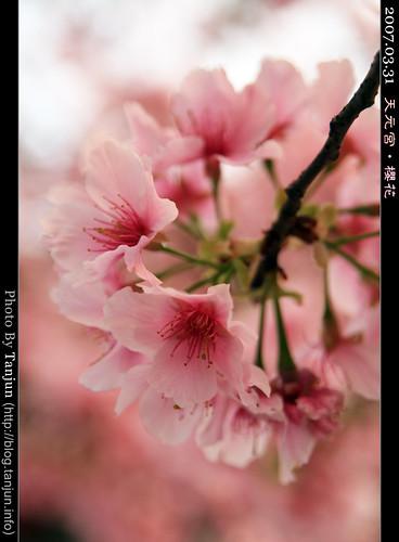 天元宮‧櫻花