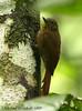 Wedge-billed Woodcreeper (Michael Woodruff) Tags: bird birds ecuador birding choco woodcreeper pvm wedgebilled nwecuador riosilanche wedgebilledwoodcreeper glyphorynchusspirurus glyphorynchus