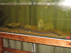 long eel