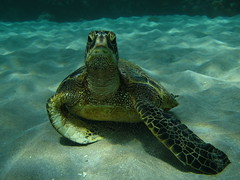 tuck (shappell) Tags: ocean sea green hawaii underwater pacific turtle sandy dive maui honu snorkle makena tuck