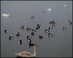 Birds Birds Birds (Kirsten M Lentoft) Tags: lake water birds copenhagen denmark gulls ducks swans damhussøen momse2600 kirstenmlentoft
