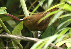 Sepia-brown Wren (Michael Woodruff) Tags: bird birds ecuador birding wren cloudforest choco sharpes sepiabrown cinnycerthia nwecuador oldnonomindord nonomindo nonomindord sepiabrownwren sharpeswren cinnycerthiaolivascens