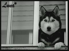 * Lunita* (aunqtunolosepas♥) Tags: bw dog pet pets white black cute byn blanco dogs window animal puppy ventana bea negro luna bn perro kiko perros animales doggy lovely cuteness mascota mascotas perra kico golddragon aunqtunolosepas tiggleschoice