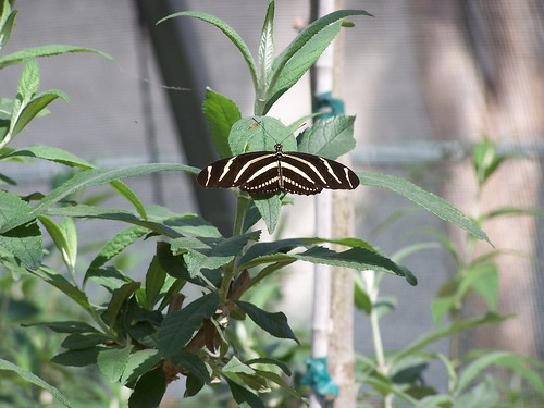 unidentified black/white striped butterfly