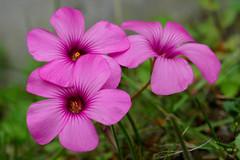 PINK BEAUTY (Momenti di Montagna) Tags: pink flowers color macro nature up flora close rosa natura fiori aprile fiore 2007 fiorellini