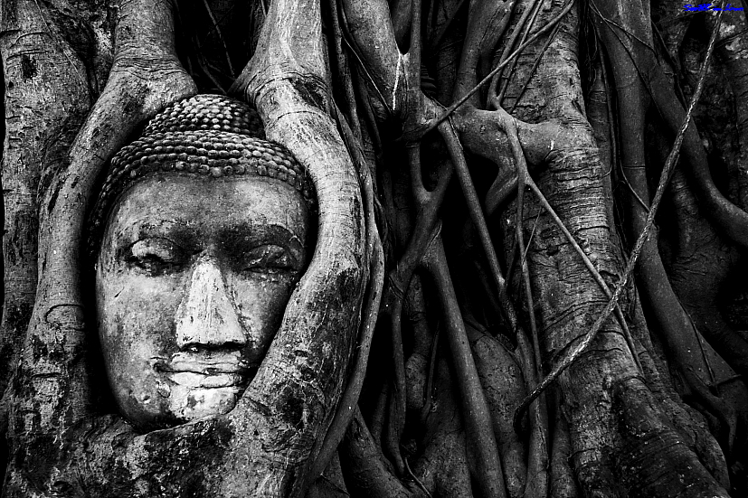 Head of Buddha in the tree @ Wat Mahathat