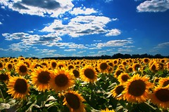 Sunflower Heaven (Joslynan) Tags: flowers summer sun flower field canon catchycolors michigan canon20d stjohns sunflowers saturation sunflower fields catchy naturesfinest midmichigan colorphotoaward stjohnsmi